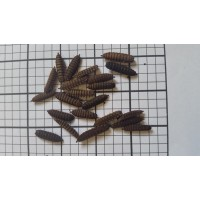 Calci Worms (Qty of 250)