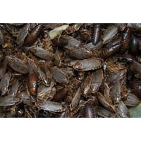 Frozen Wood Cockroaches