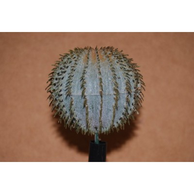 Barrel Cactus Small 45mm