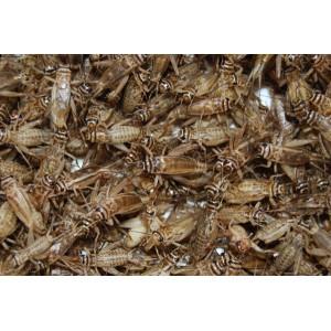 Crickets Handy Pack
