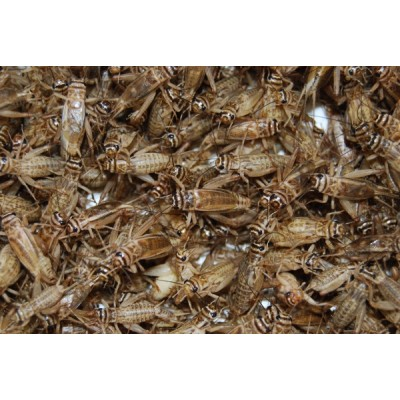 Crickets Handy Pack