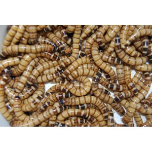 Giant Mealworms Handy Pack
