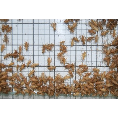 Extra Small Crickets (Qty of 250)