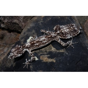 Rough-throated Leaf-tailed Gecko
