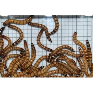 Large Giant Mealworms (Qty of 250)
