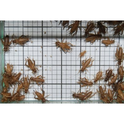 Medium Crickets (Qty of 250)