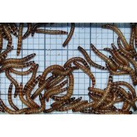 Medium Giant Mealworms (Qty of 250)