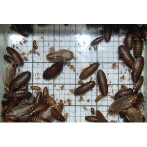 Mixed Wood Cockroaches (Qty of 250)