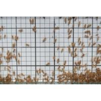 Pinhead Crickets (Qty of 250)
