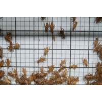 Small Crickets (Qty of 250)