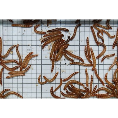 Small Giant Mealworms (Qty of 250)