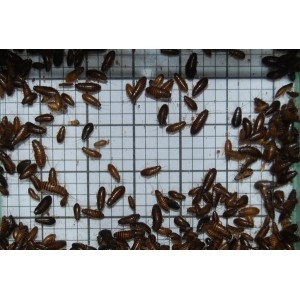 Small Wood Cockroaches (Qty of 250)