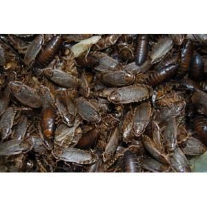 Wood Cockroach Handy Pack