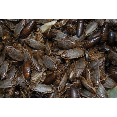 Wood Cockroach Handy Pack